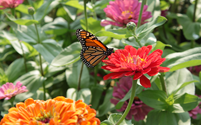 Lombard Garden Club presents donation for Monarch Waystations